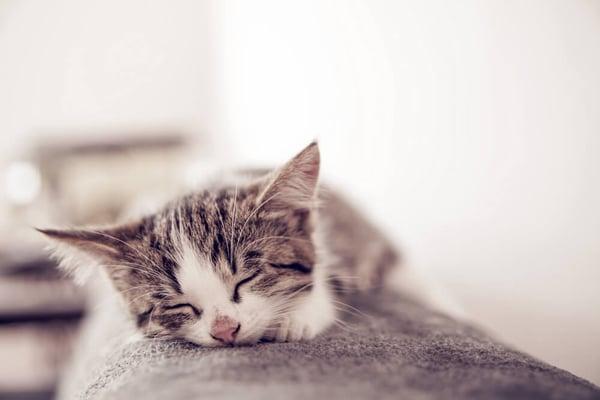 peaceful kitten sleeping