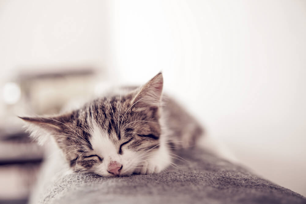 peaceful kitten sleeping