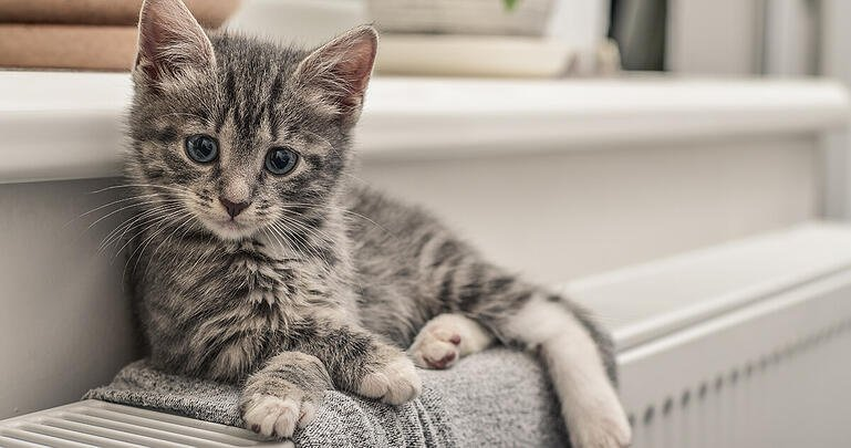 7 Reasons Your New Kitten Might Not Be Eating_2