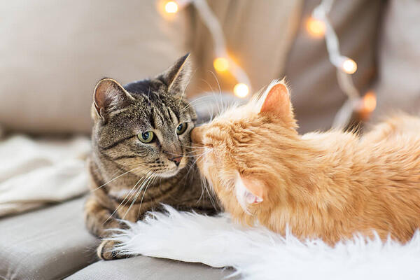 ginger cat lick other cat's face