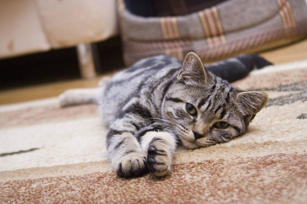 cat lying down and stretching on a rug