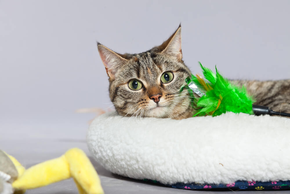 cat lays in the bed surrounded by toys