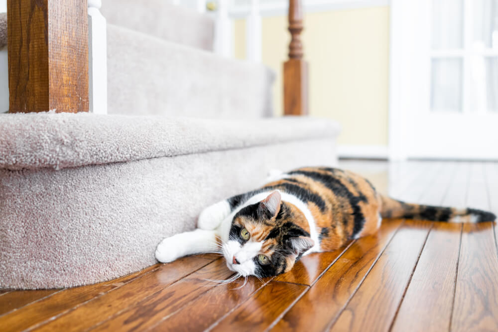 cat sractching the rug in the stairs