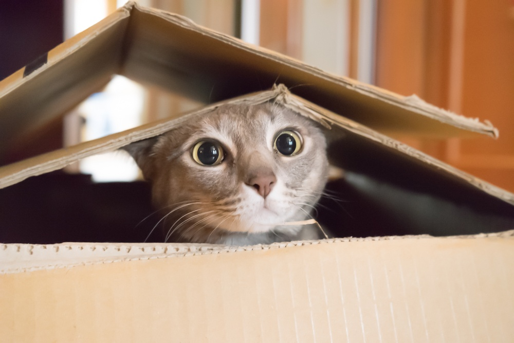 cat scared of fireworks hiding in a cardboard box