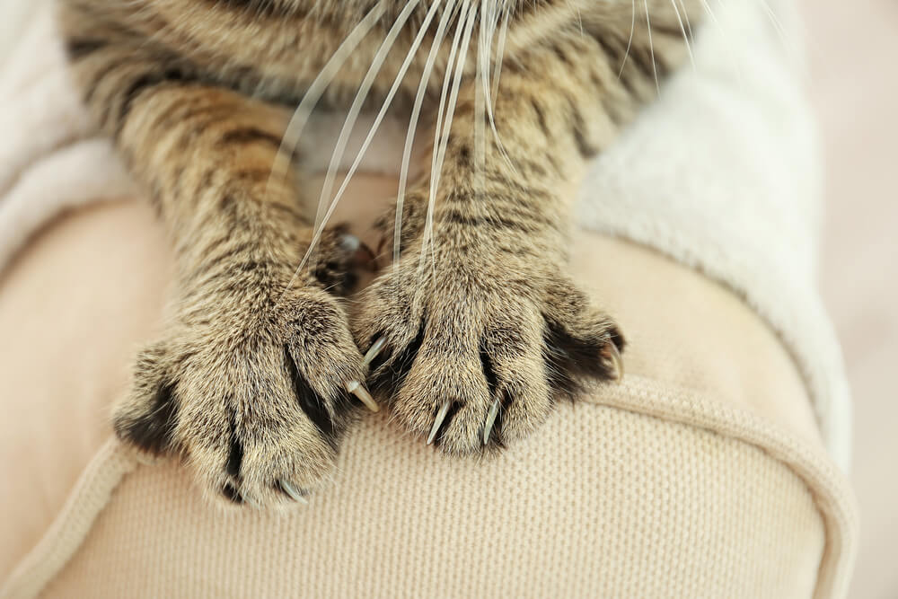 Focus on cat paws scratching a sofa