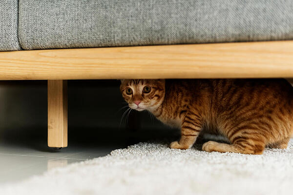 ginger cat hiding under the couch