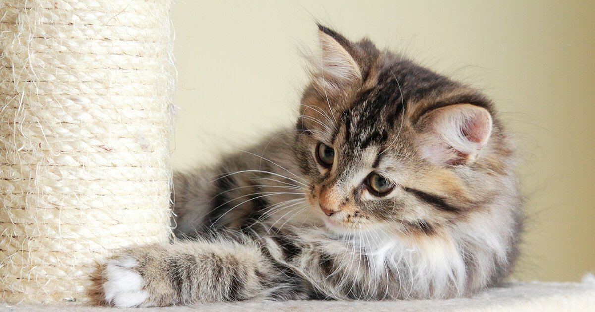 Does My Kitten Need a Scratching Post_3