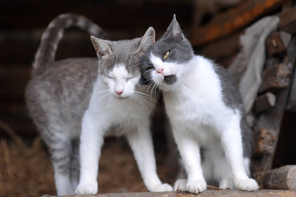 cats rubbing their head against each other