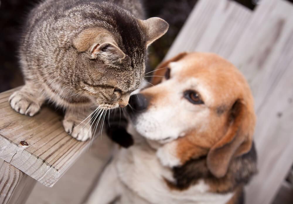 dog beagle smells a cat's tail