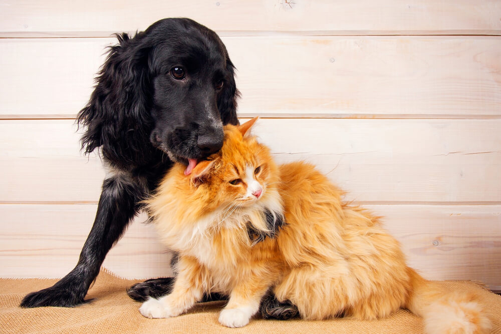 dog grooms a ginger cat